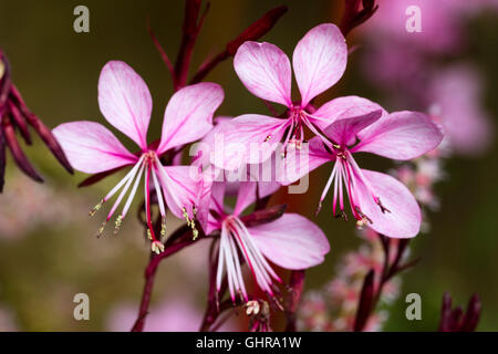 Close up of the flowers of the compact perennial, Gaura lindheimeri 'Lillipop Pink' - Stock Photo