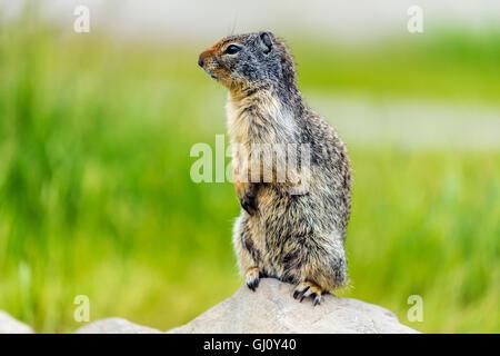 Columbian ground squirrel or Urocitellus columbianus, Banff, Alberta, Canada - Stock Photo