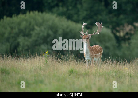 Fallow deer (buck)- Dama dama with antlers covered in velvet.. Uk - Stock Photo