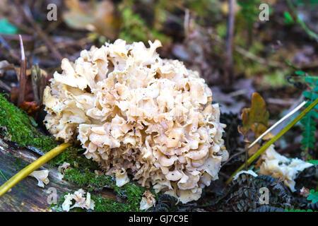 Cauliflower Fungus (Sparassis crispa) parasitic fungus of woodland - Stock Photo