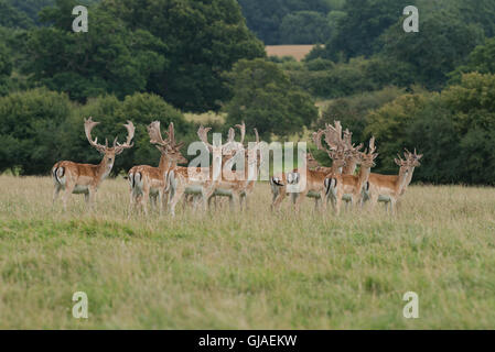 A herd of Fallow Deer  - Dama dama with antlers covered in velvet. Uk - Stock Photo