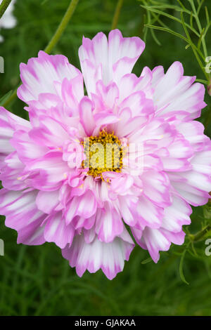 Cosmos bipinnatus Double Click Bicolour Rose flower - Stock Photo