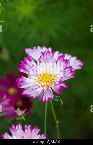 Cosmos bipinnatus Double Click Bicolour Rose flowers - Stock Photo