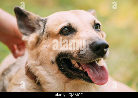Close Up Of Medium Size Mongrel Mixed Breed Short-Haired Yellow Adult Female Dog With Tongue In Collar On Green - Stock Photo