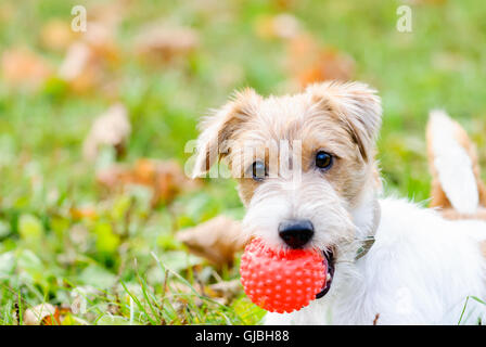 Cute fluffy dog waiting to play with toy at walk - Stock Photo