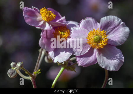 Anemone hupehensis 'Hadspen Abudance', Japanese anemone, thimbleweed or windflower - Stock Photo