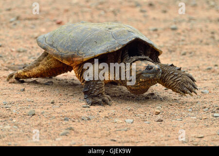 common snapping turtle (Chelydra serpentina)  Captive, Minnesota wildlife Connection, Sandstone, Minnesota, USA - Stock Photo