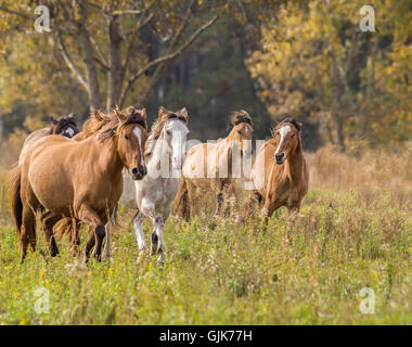 Herd of Spanish Mustang mares run to us in open meadow. - Stock Photo