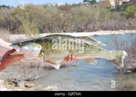 hand fish zander - Stock Photo
