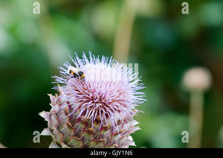 Bumble bee collecting pollen on a plant - Stock Photo