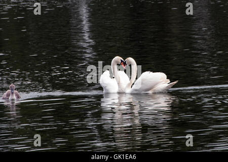 Two swans forming a heart with a young signet swimming close by - Stock Photo