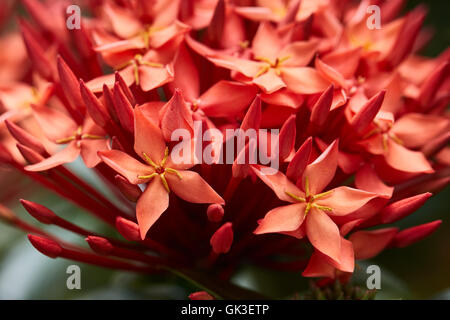 Closeup of West Indian Jasmine flowers - Stock Photo