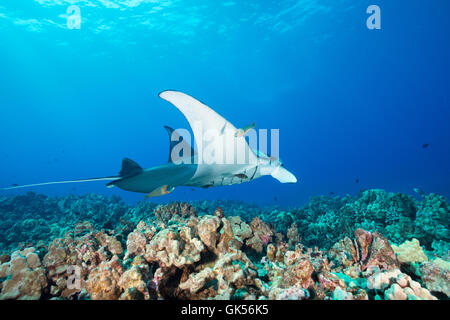 a reef manta ray, Manta alfredi, is cleaned by saddle wrasses, Thalassoma duperrey, an endemic species, Kona, Hawaii - Stock Photo