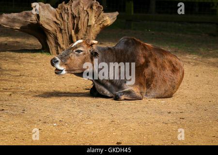 Dwarf zebu, Bos taurus indicus, domestic animal in the zoo - Stock Photo