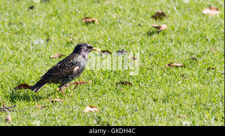 Common starling Sturnus vulgaris - Stock Photo