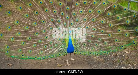Vibrant Blue Peacock Spreading its Feathers - Stock Photo