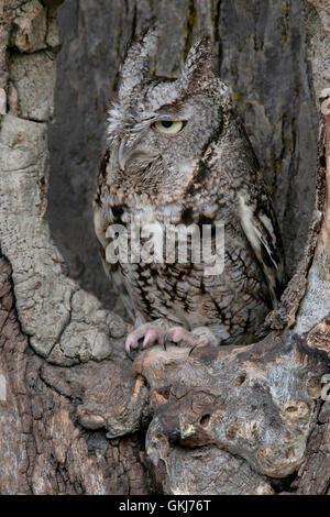 Common Screech Owl,gray phase, in a tree den.                     Eastern USA  Mi. - Stock Photo
