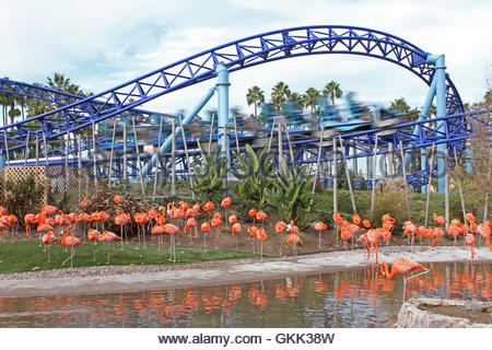 Manta roller coaster, Sea World San Diego, flamingos, California theme parks, zoo animals, theme park rides - Stock Photo