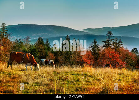 Idyllic mountain autumn scenery with cattle grazing. Beskid Mountains. Mountain Landscape. Cows grazing on grass. - Stock Photo
