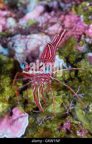 Durban Dancing Shrimp, Rhynchocinetes durbanensis, Bali, Indonesia - Stock Photo