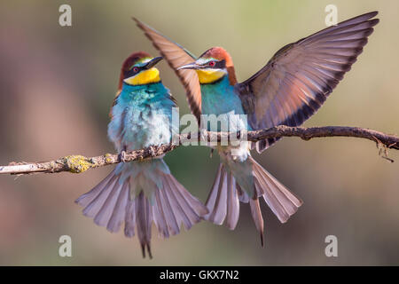A pair of courting European Bee-eater (Merops apiaster) - Stock Photo
