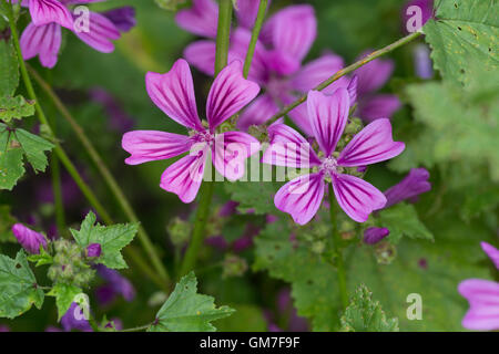 Wilde Malve, Große Käsepappel, Malva sylvestris, Malva silvestris, common mallow, cheeses, high mallow, tall mallow, - Stock Photo