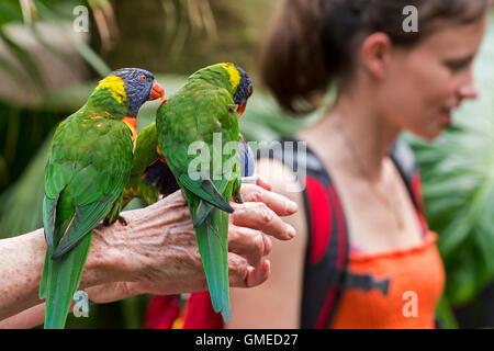 Visitor feeding tame rainbow lorikeets / Swainson's Lorikeet (Trichoglossus moluccanus) - native to Australia - - Stock Photo