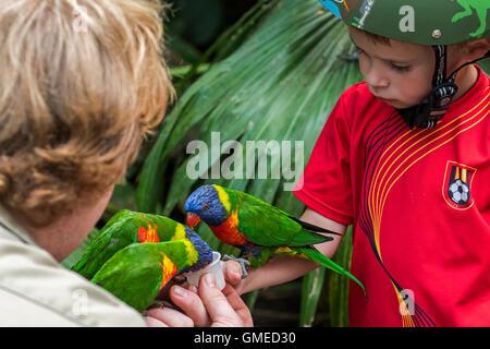 Child feeding tame rainbow lorikeets / Swainson's Lorikeet - colourful parrots native to Australia - by hand in - Stock Photo