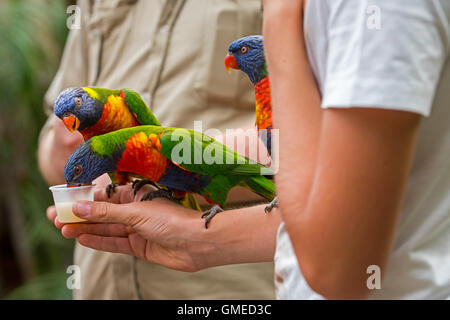 Visitor feeding tame rainbow lorikeets / Swainson's Lorikeet - colourful parrots native to Australia - by hand in - Stock Photo