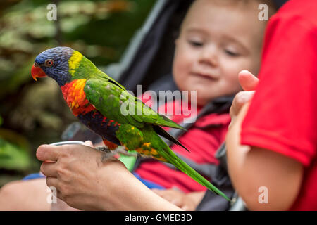 Baby looking at tame rainbow lorikeet / Swainson's Lorikeet - colourful parrot native to Australia - being fed by - Stock Photo