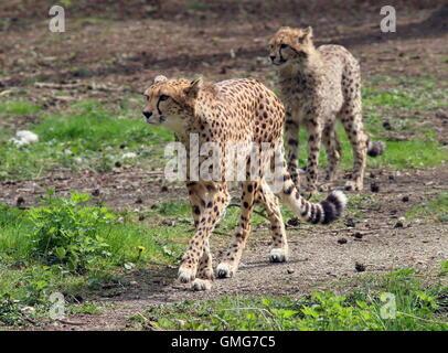 Female African Cheetah (Acinonyx jubatus) with an adolescent cub - Stock Photo