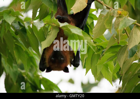 Maldivian fruit bat, also known as flying fox on an island in Maldives - Stock Photo