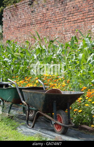 Wheelbarrows in an organic walled kitchen garden by sweetcorn and pot marigold (calendula) companion plants used - Stock Photo