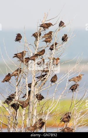 Common starling (Sturnus vulgaris) flock in tree, Edwin B. Forsythe National Wildlife Refuge, New Jersey, USA - Stock Photo