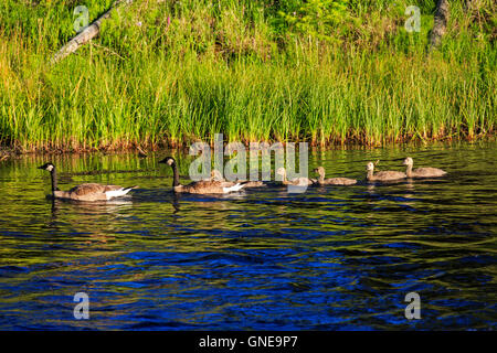In this shot a family of Canada Geese (Branta canadensis) swims up the Madison River in Yellowstone National Park, - Stock Photo