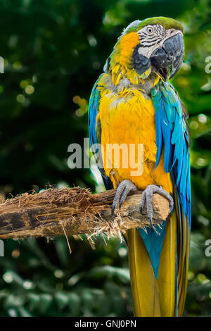 Blue And Yellow Macaw Sitting On A Branch Guadeloupe West Indies - Stock Photo