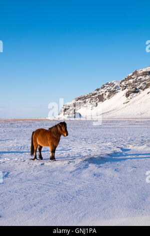 Icelandic horse in winter backed by dramatic Icelandic scenery. - Stock Photo