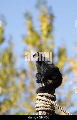 A red-face Spider Monkey (Ateles paniscus) sitting alone on top of a wooden pole in the zoo. - Stock Photo