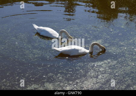 Two swans on a lake - Stock Photo