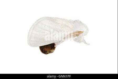 Brown-tail - Euproctis chrysorrhea 72.012 (2029) - Stock Photo