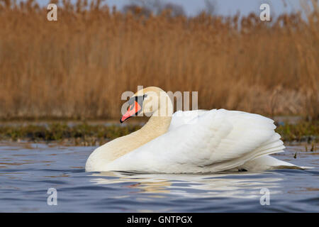Mute swan floating on blue water - Stock Photo
