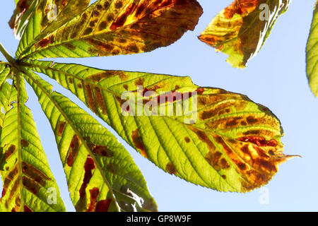 Wimbledon London,UK 3rd September 2016. Backlit leaves begin to colour on Wimbledon Common in the early signs of - Stock Photo
