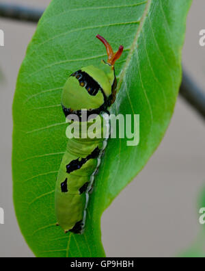 Citrus Swallowtail Butterfly Larvae with protruding osmetrium orange tongue to scare off predators on a green leaf. - Stock Photo