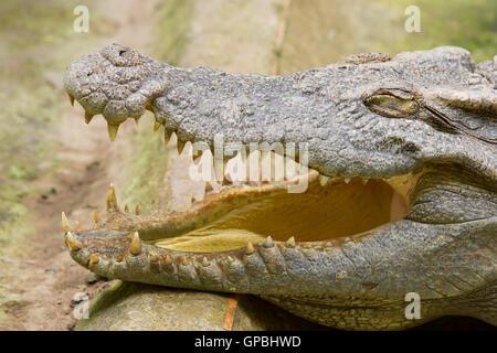 Crocodile resting in the sun - Stock Photo