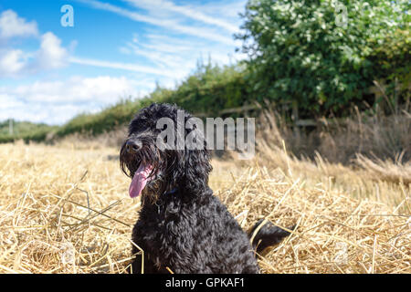 Underwood, Nottinghamshire, UK. 4th September 2016. Bright warm afternoon in rural Nottinghamshire. Frankie the - Stock Photo