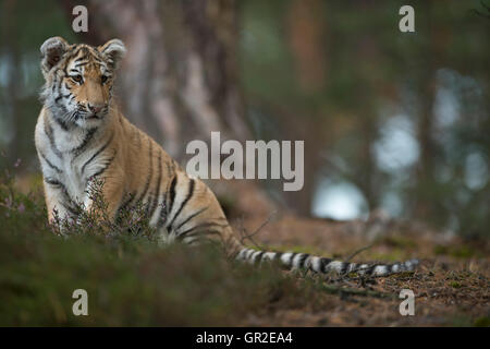 Royal Bengal Tiger / Koenigstiger ( Panthera tigris ), young animal, sitting at the edge of a forest, concentrated - Stock Photo