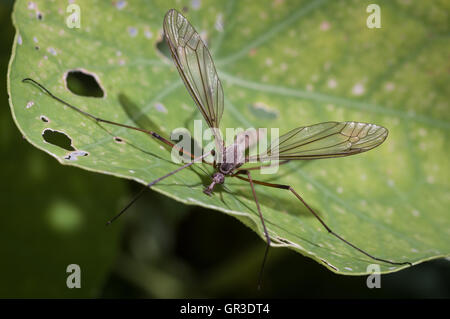 The crane fly is a member of the family of insects in the order Diptera, also known as the Gallynapper, Daddy longlegs - Stock Photo