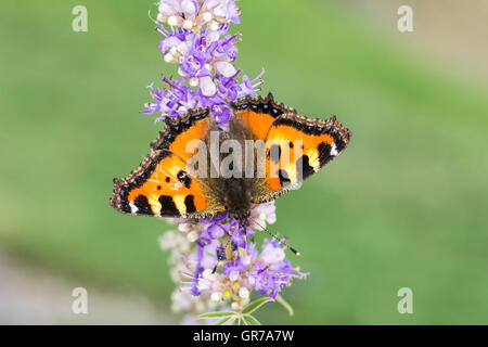 Aglais Urticae, Nymphalis Urticae, Small Tortoiseshell On Chastetree, Chasteberry, Monks Pepper, Lower Saxony, Germany - Stock Photo