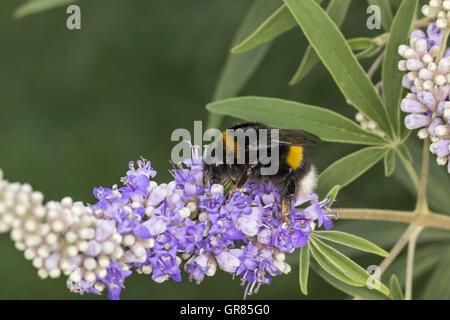 Bombus Terrestris, Buff-Tailed Bumblebee, Large Earth Bumblebee On Vitex Agnus-Castus, Chaste Tree, Chasteberry, - Stock Photo