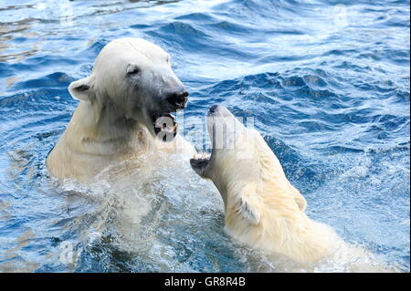 Game Polar Bears In The Water-Tiergarten Schönbrunn - Stock Photo